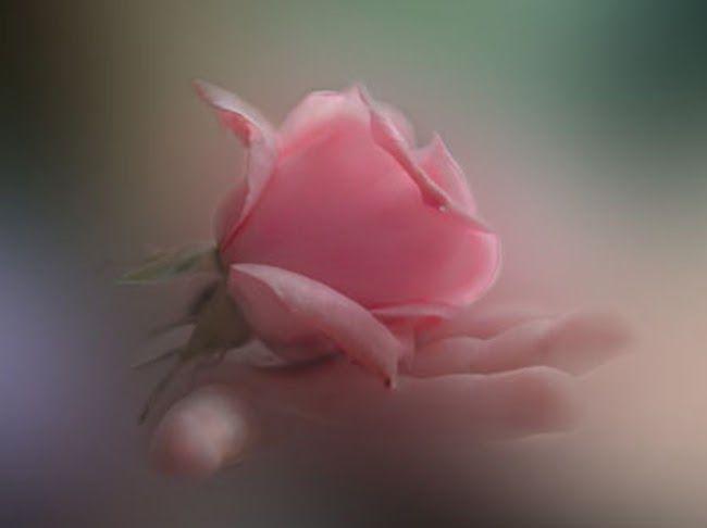 rosa y mano